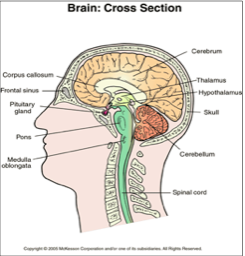 CMLX brain cross section