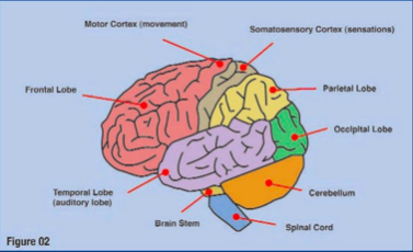 CMLX brain injury1